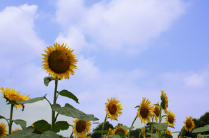 0808sunflower2