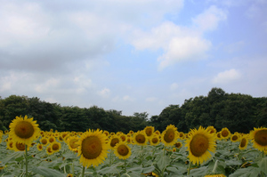 0808sunflower3