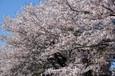 宇都宮市睦町のスーパーの駐車場の桜