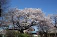 文星短大付属高の桜