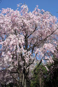 宇都宮女子高の桜
