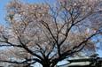一向寺さんの桜