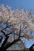 報恩寺さんの桜