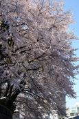 二荒山神社の桜