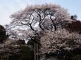 慈光寺さんの桜