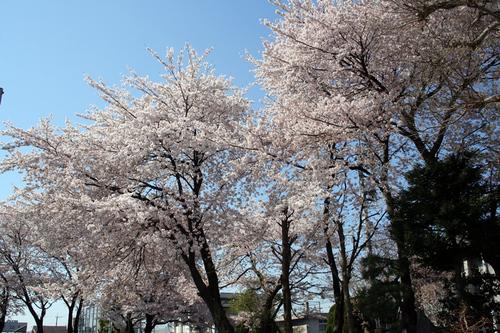 西原小学校の桜