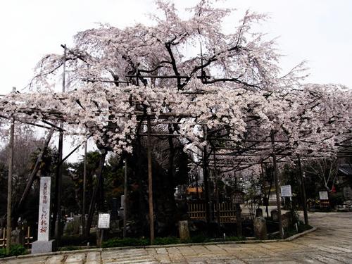祥雲寺さんのしだれ桜