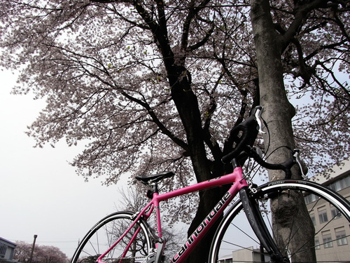 とちぎ福祉プラザの桜とCAAD9